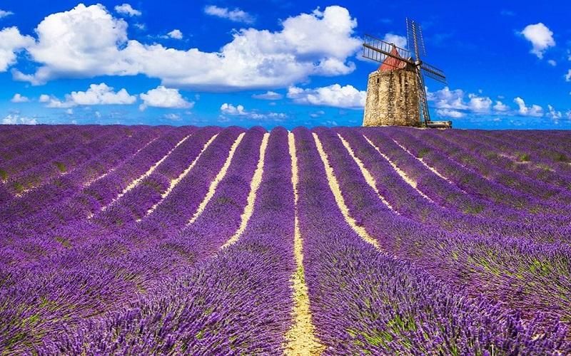 Lavender- Kuyucak